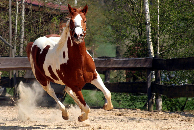 A paint horse in action.