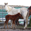 Wild horse family in BLM pen.