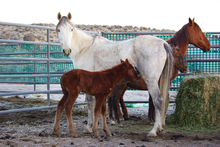 A mare and foal in a BLM pen.