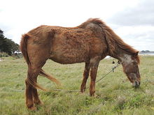 Horse with Cushing's disease.