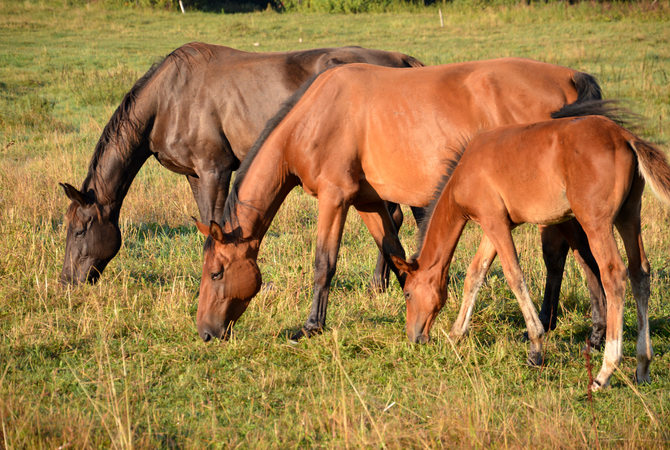 Three younger-to-older horses grazing in pasture.