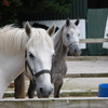 White and dappled horses in a stable.