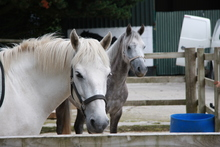 White and dappled gray horses in stable.