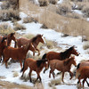 A wild horse gather by BLM