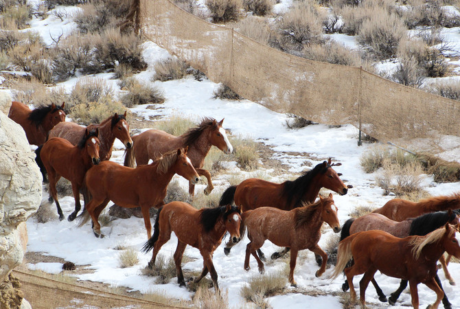 A Nevada BLM wild horse gather in process.