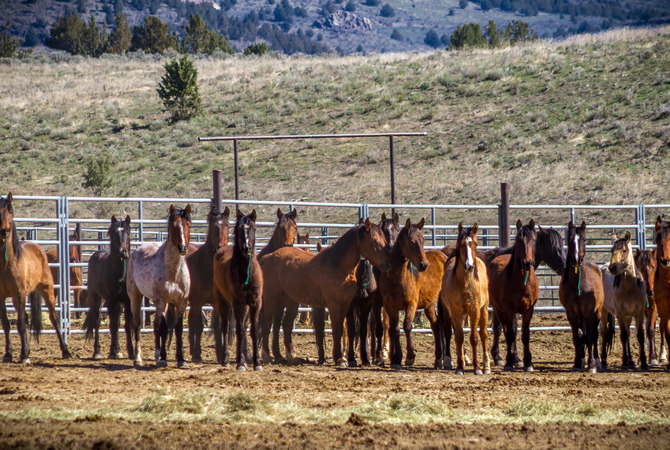 Wild horses lined up in BLM holding pen.