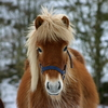 Horse with heavy winter coat.