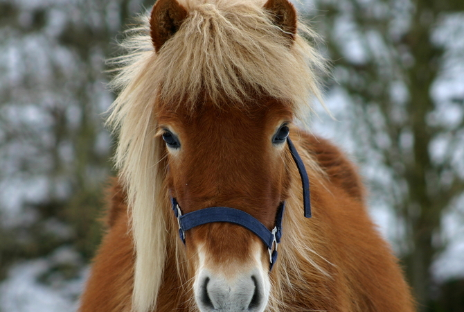 Horse with natural warm winter coat.