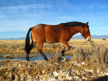 Horse in winter coat walking through open land.