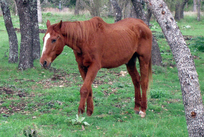An older horse walking in pasture.