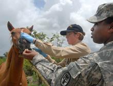 Veterinarian team medicating a horse in Belize.