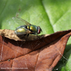 A horse bot fly on a leaf.