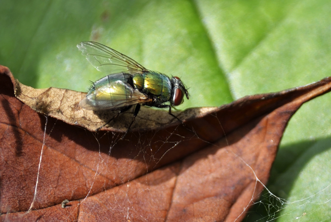 Bot Fly - Source of horse parasites.