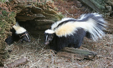 Skunks - Carriers of rabies affecting horses.