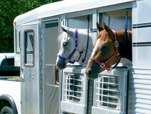 Horses on-the-go in trailer.
