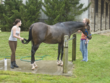 Two women grooming Thoroughbred horseTwo women grooming Thoroughbred horse.