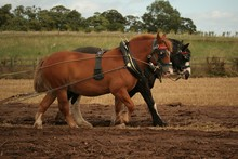 Harnessed horses at work.
