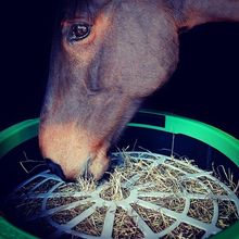 Horse eating steamed hay.