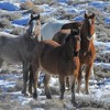 Wild mustangs in snowy desert setting.