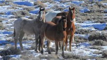 Group of horses on federal land.