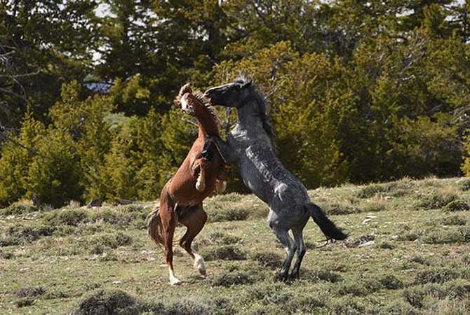 Wild stallions fighting in open country.