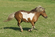 Miniature horse running in pasture.