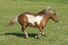 Miniature horse running in pasture.