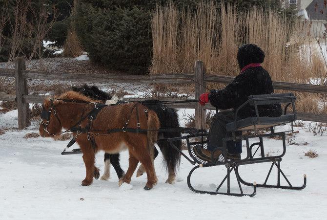 Miniature horses pulling a sleigh.