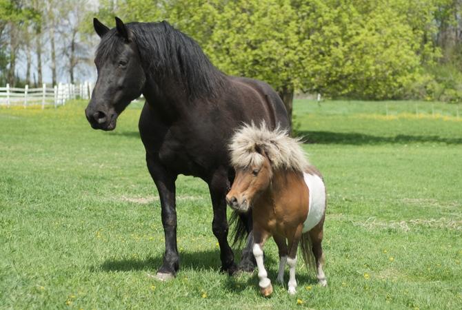 A miniature horse in pasture.