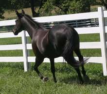 A healthy black horse.