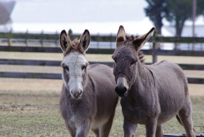 Two donkeys in pasture.
