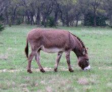 Donkey grazing in pasture.
