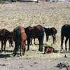 Wild horse herd including a foal.