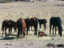 Small herd of wild horses including a foalSmall herd of wild horses including a foal.