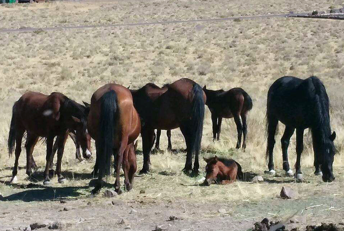 Herd of wild horses including a foal