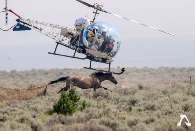 BLM helicopter chasing wild horses during roundup.
