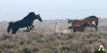 Foal and mares chased by helicopters.