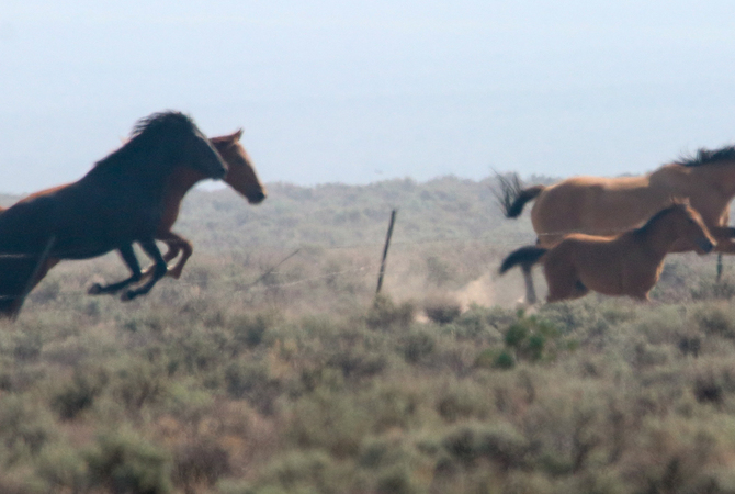Wild horses and foal being chased by BLM helicopter.