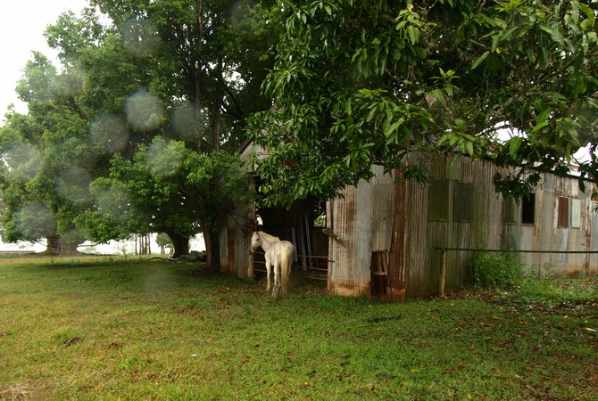 White horse near an old run-in shed.