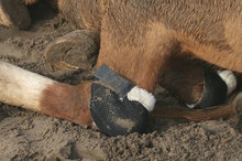 Hock shields protecting horse's hocks.