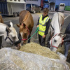 FEI competition horses eating lunch in Belgium.