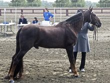 Showing a Tennessee Walking Horse