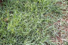 Bermuda grass hay