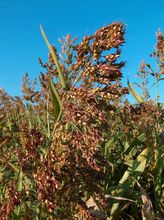 Sudangrass hay
