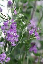 Alfalfa hay (legume)
