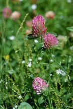 Red clover hay