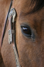 Horse eye placement makes them susceptible to injury