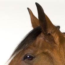 Horse ears.