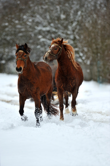 Horses pulling a sleigh through snow