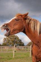 Horse vocalizing.